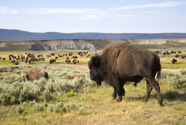 Bizon in Yellowstone Nationaal Park