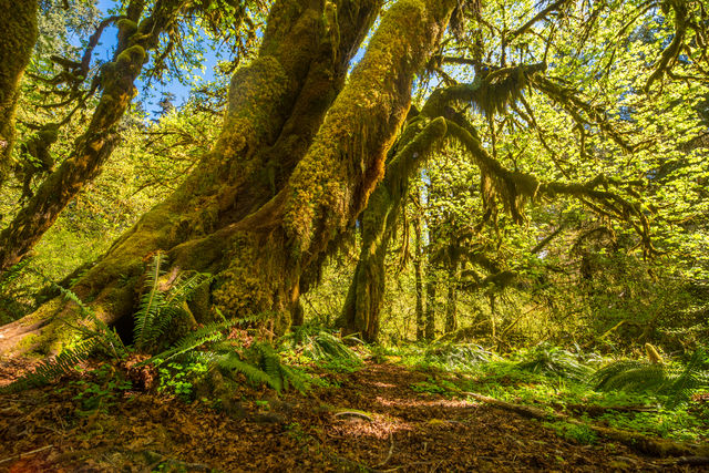 Hoh Rainforest, Olympic National Park