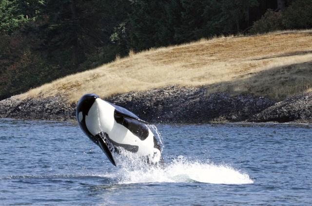 Orka, Vancouver Island