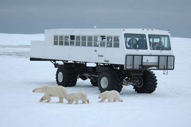 IJsberen spotten in Manitoba