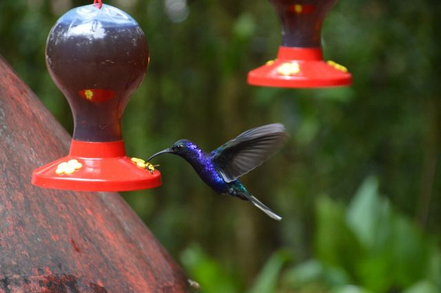 Kolibrie in Monteverde