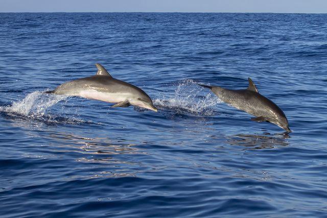 Portugal, dolfijnen op Madeira