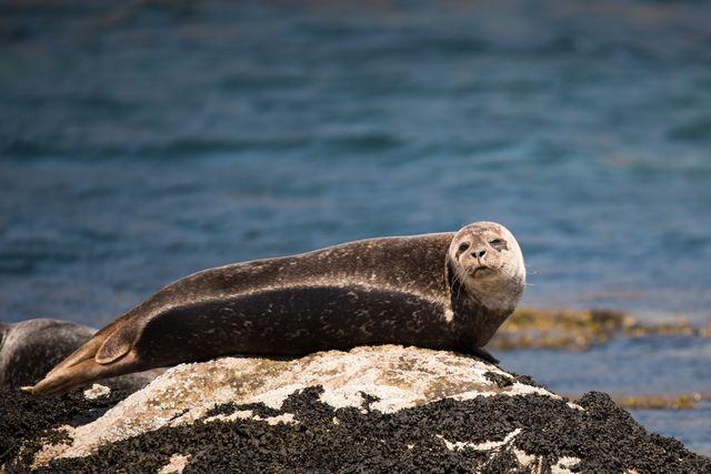 Zeehond in Orkney