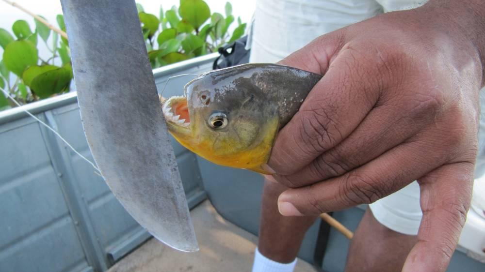 Piranhas in de Pantanal