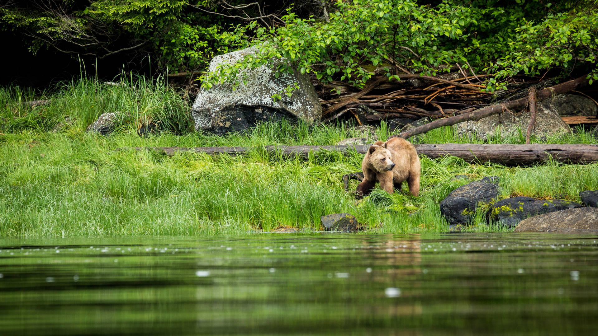 Grizzlybeer bij de Knight Inlet Lodge