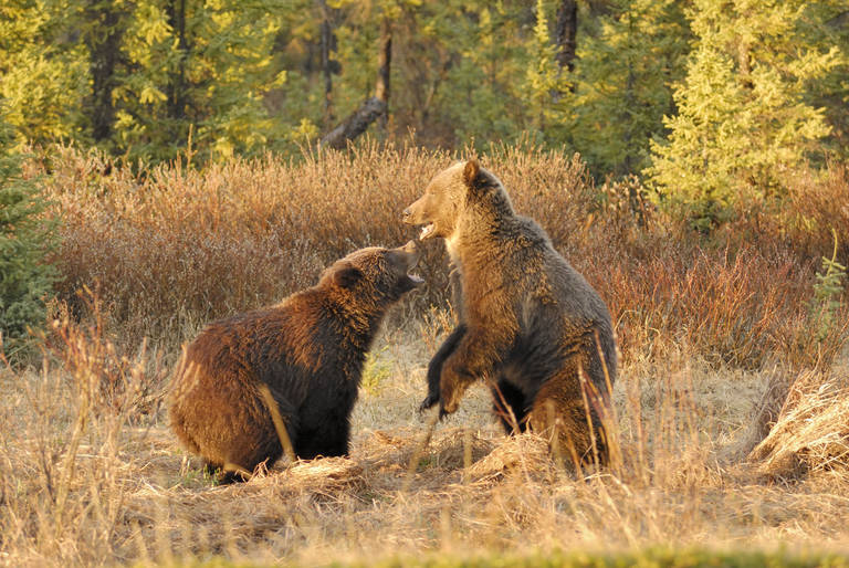 Grizzly beren, Jasper National Park