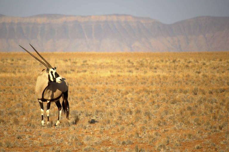 Oryx in de Kalahari Desert