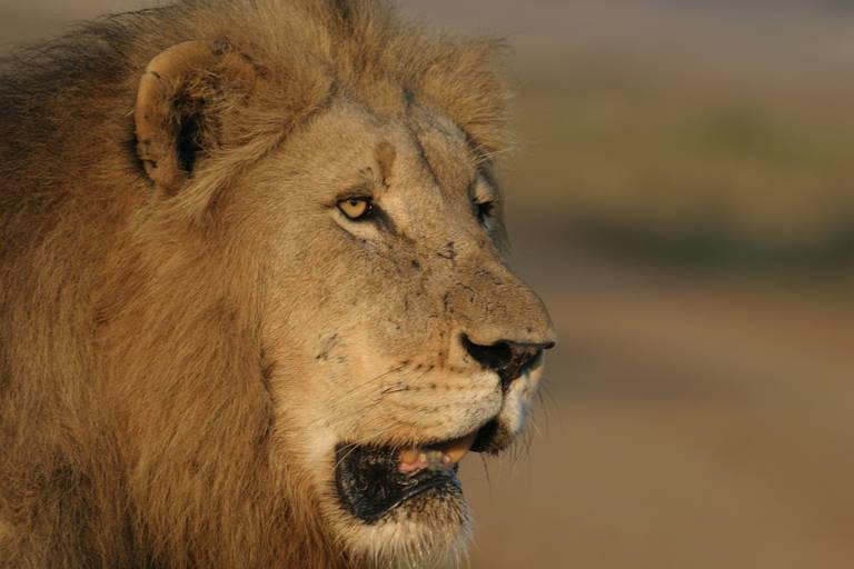 Leeuw in Mkuze Reserve