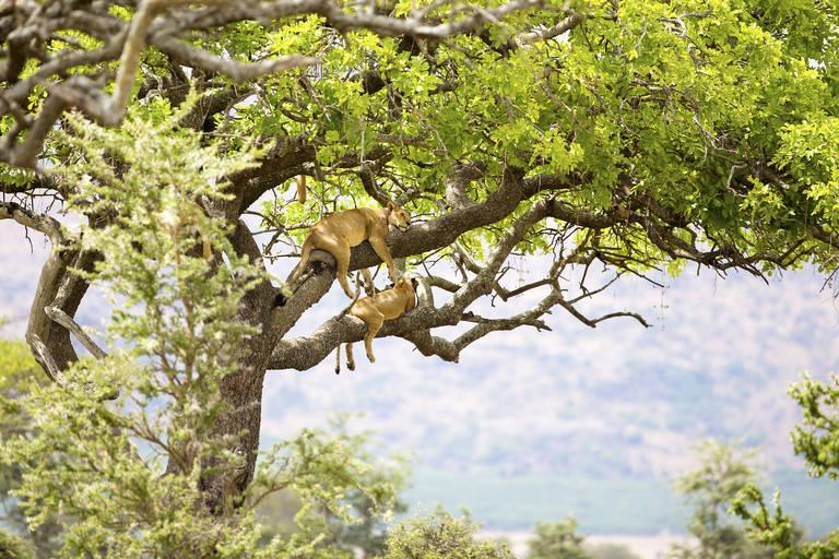 Leeuwen in een boom in Serengeti NP