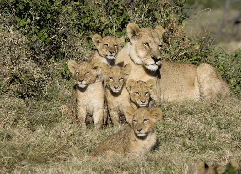 Leeuw met welpjes in Zuid-Afrika