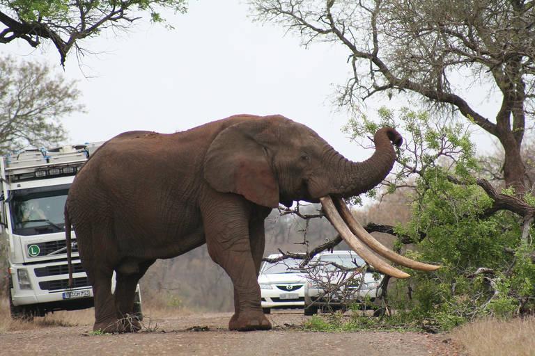 Grote olifant in Krugerpark