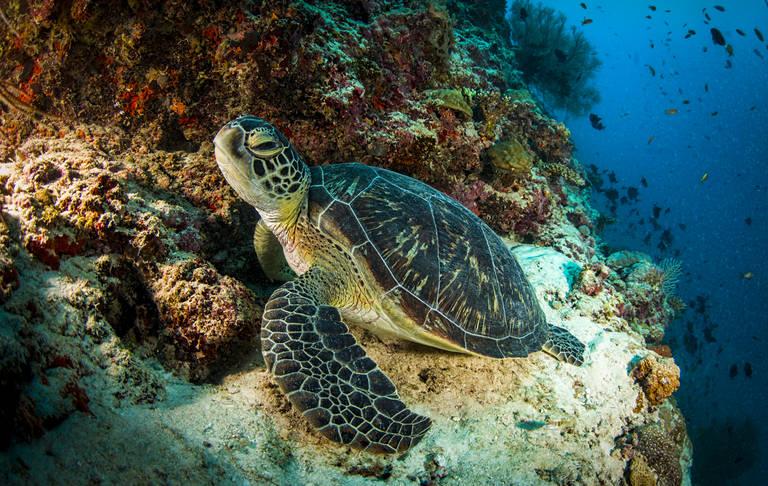 Schildpad, Dusit Thani Maldives