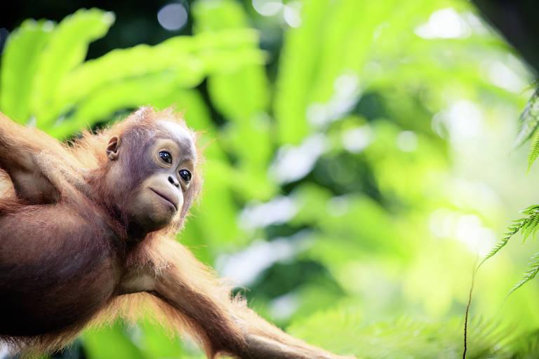 Orang-oetan, Borneo