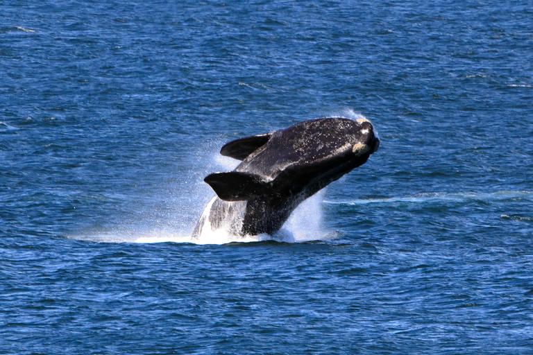Springende walvis in Hermanus