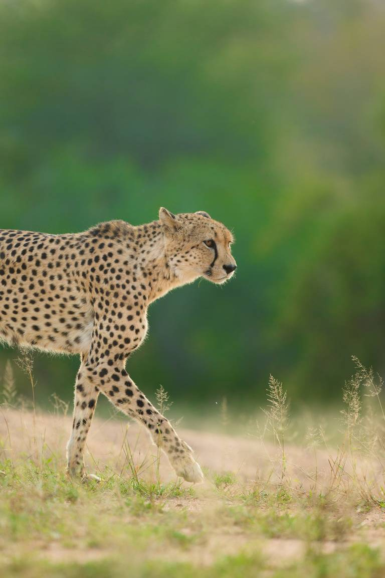 Cheetah, Krugerpark