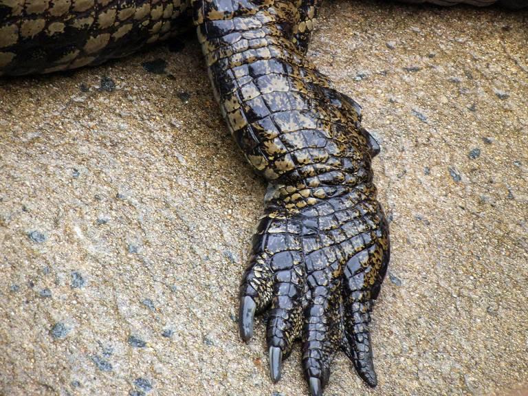 Krokodillenpoot in St Lucia